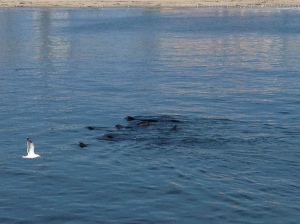 Kind of hard to see, but I don't have any other good pictures of the sea lions (I think they're on DQ's phone still)
