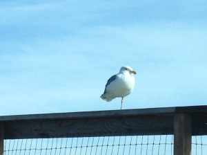 I made everyone sit still in the car until I could take a picture of this one-legged rat-with-wings (seagull)