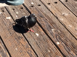 Demon Pigeon with red eyes on the pier in San Fran