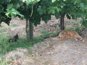 Kitties chilling in the grapevines