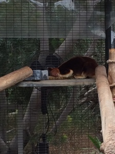 A tree kangaroo sleeping.