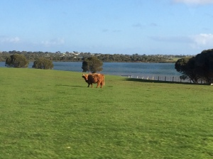 Highland coo that I saw in Australia